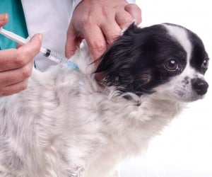 Vet and Dog Chihuahua. The veterinarian exams the dog for checking its health. The dog gets an injection