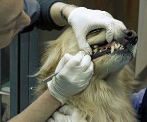 A veterinarian is cleaning a Golden Retriever's teeth. ** Note: Slight blurriness, best at smaller sizes